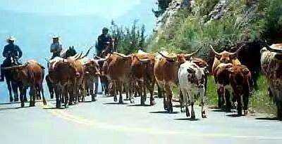 cows[1]