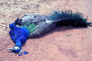 roadkill peacock